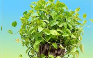 Ампельные комнатные растения