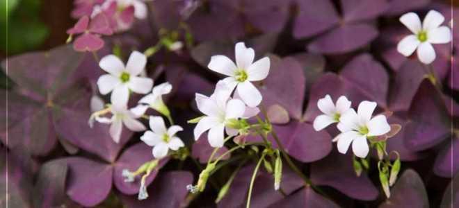 Как получают редкие домашние цветы