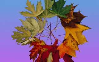 Желтые листья у домашних растений
