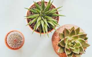 Как правильно пересаживать кактусы?