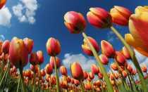 Посадка тюльпанов в открытый грунт и уход за ними