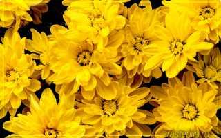 Как укоренить домашнюю хризантему