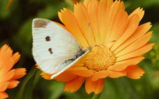 Применение цветков календулы в лечебных целях