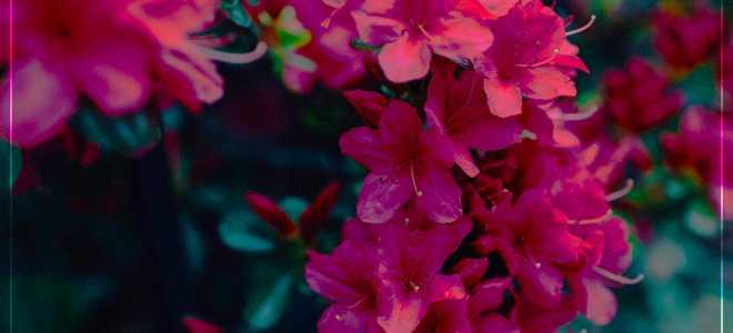 Цветок рододендрон в домашних условиях