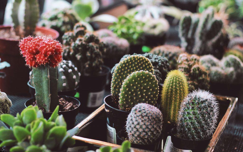 Горшечные кактусы - пересадка