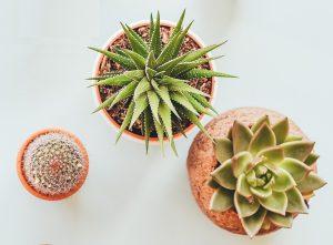 Как размножать кактусы?