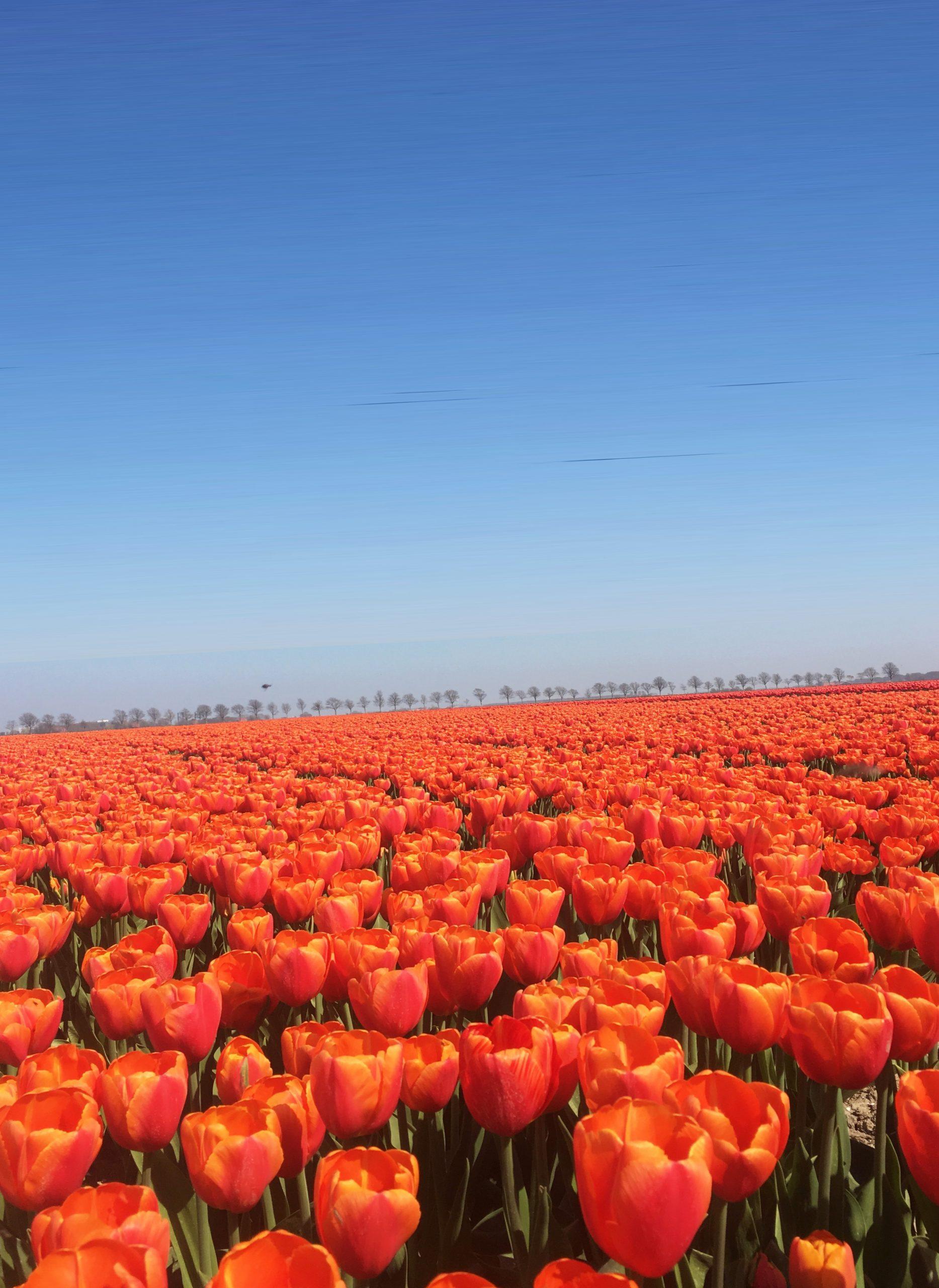 Посадка и уход за тюльпанами осенью