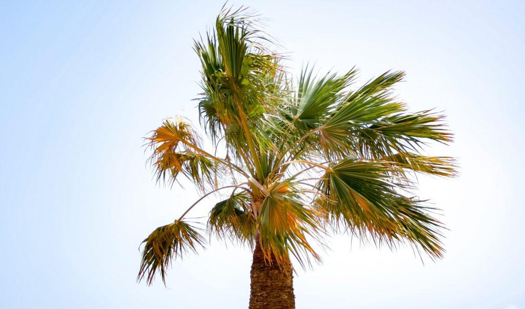 Пальма домашняя уход