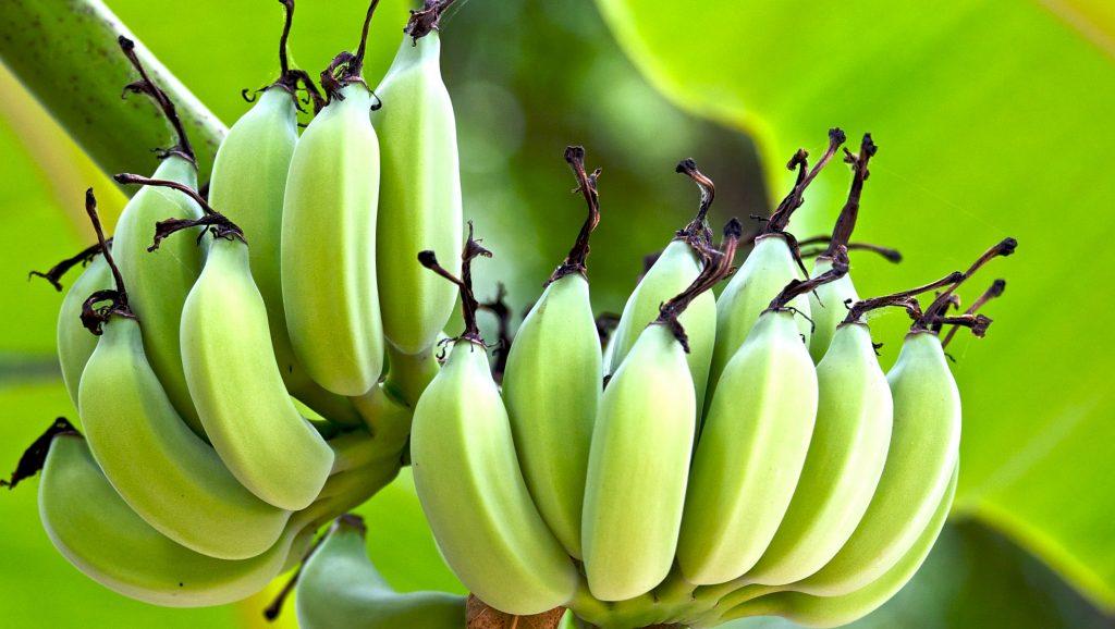 Необычные комнатные растения — Банан