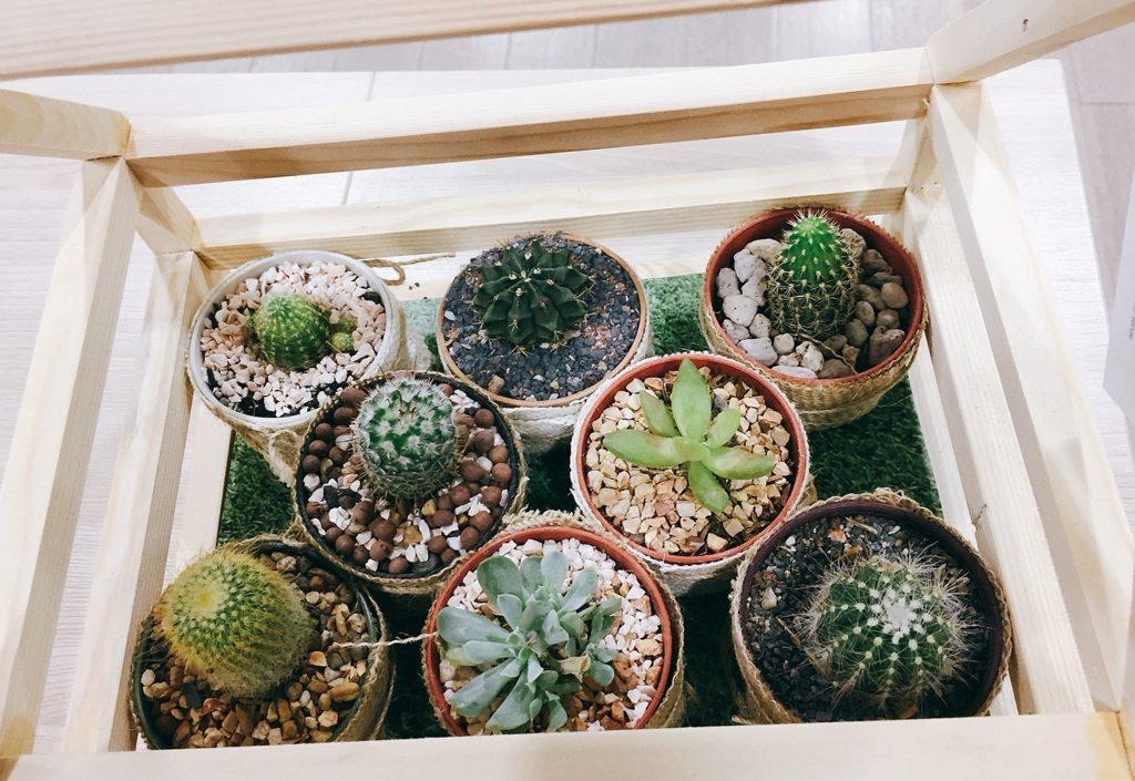 Кактус – самый популярный комнатный цветок