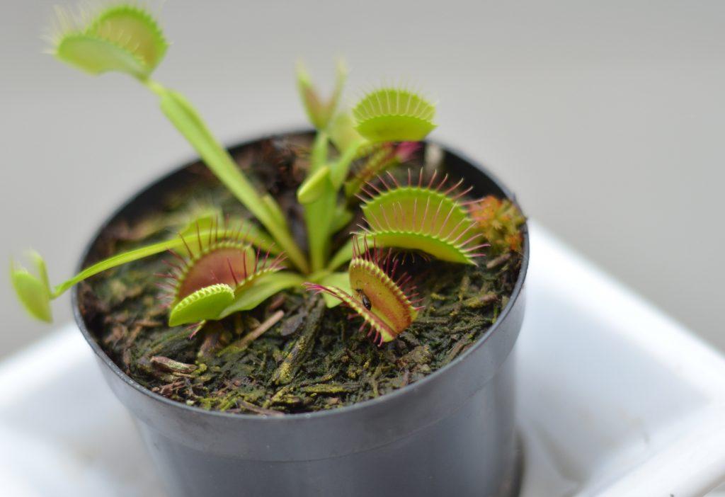 Хищные растения - Венерина мухоловка