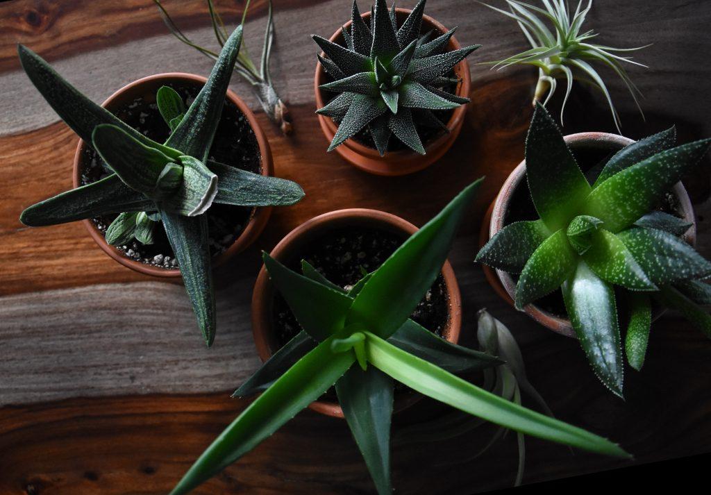Неприхотливое растение Хавортия