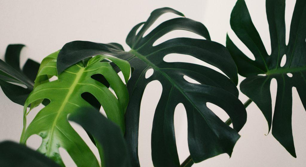 Монстера нецветущие растение