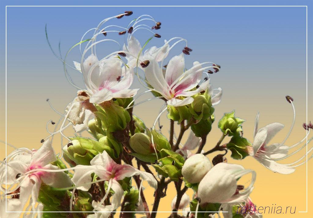 Ампельные комнатные растения — Клеродендрум