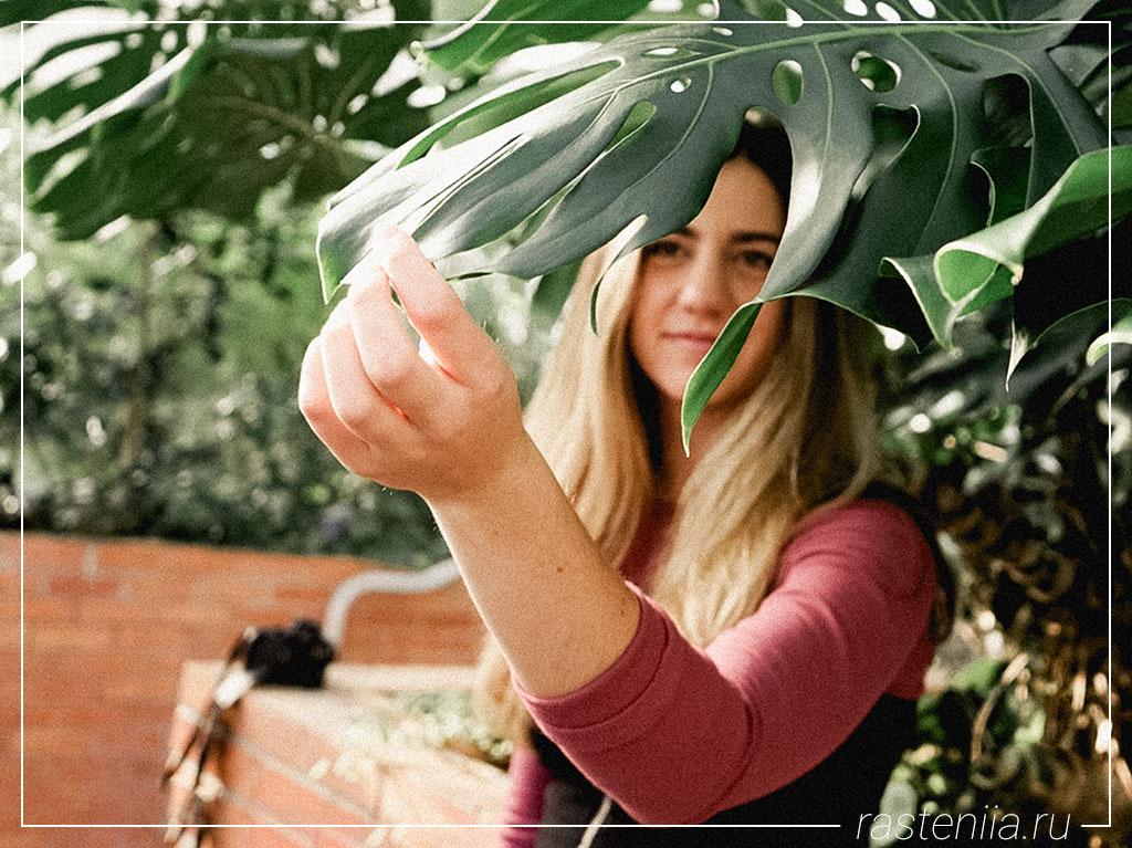 Большие домашние растения — Монстера