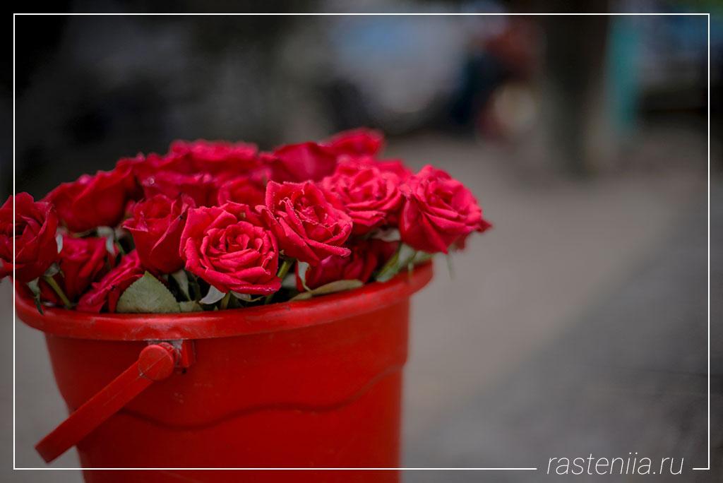 Домашние розы в горшках