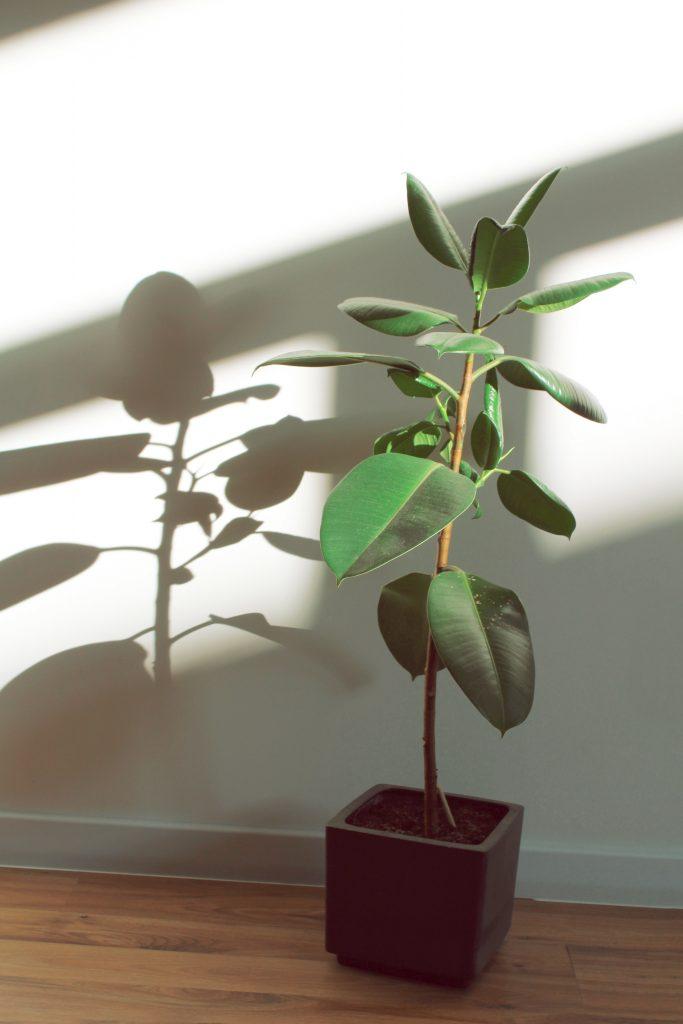 Высокие комнатные растения - фикус