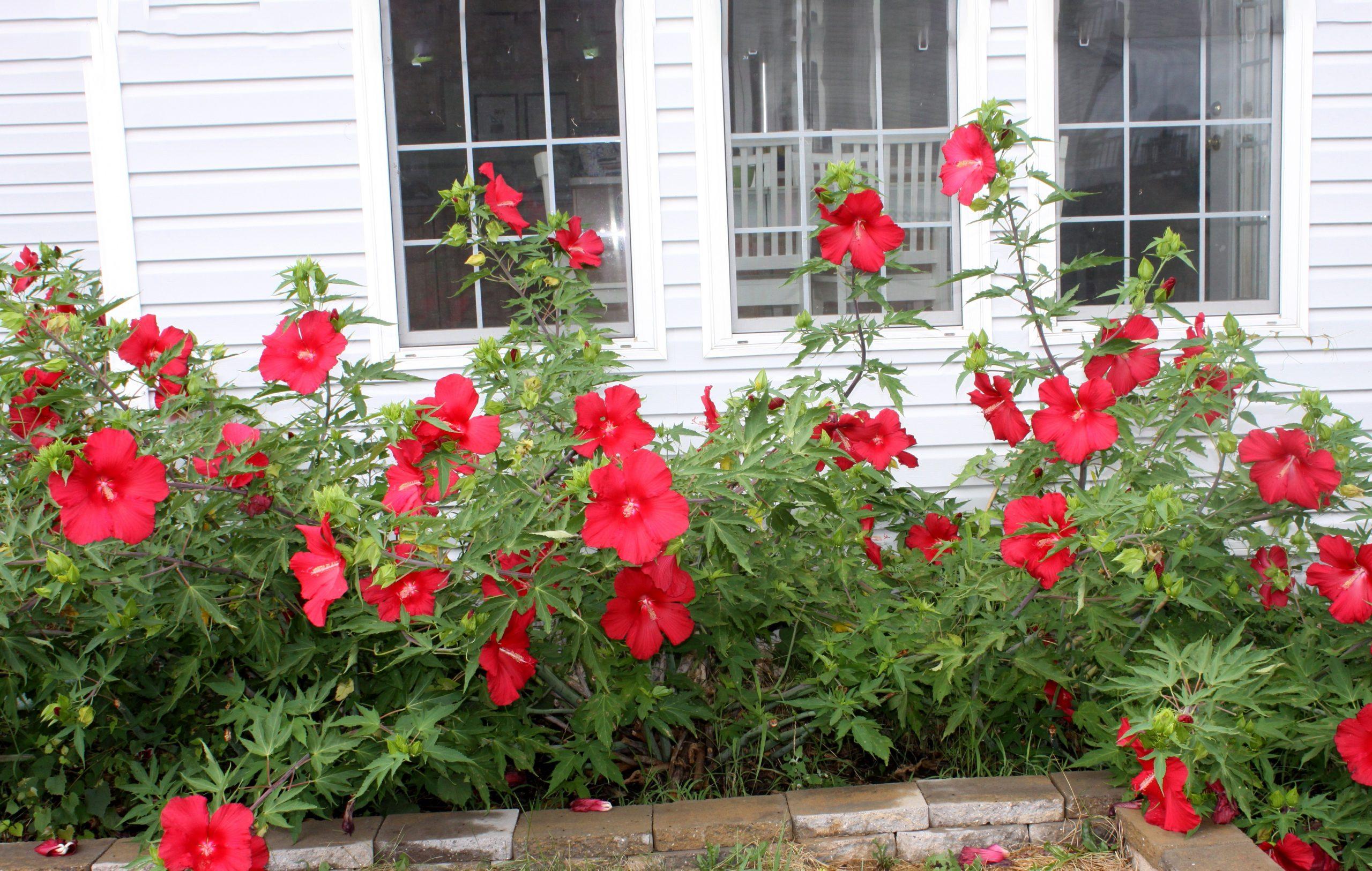 Высокое комнатное растение - гибискус