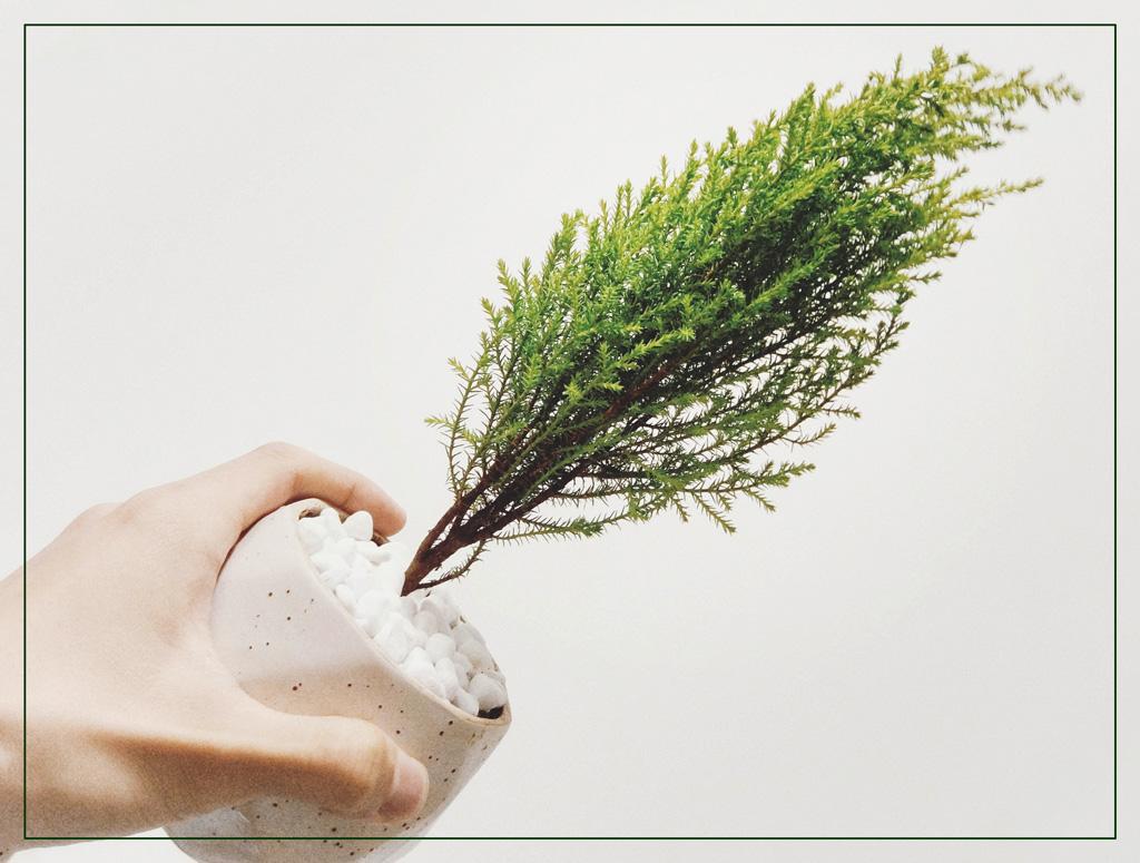Хвойные комнатные растения — Кипарис