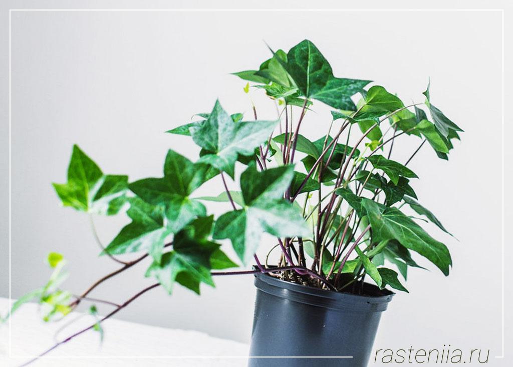 Ампельное растение — Плющ