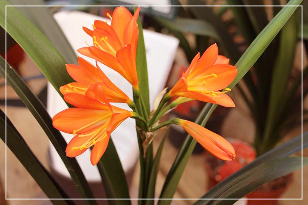 Растение Кливия