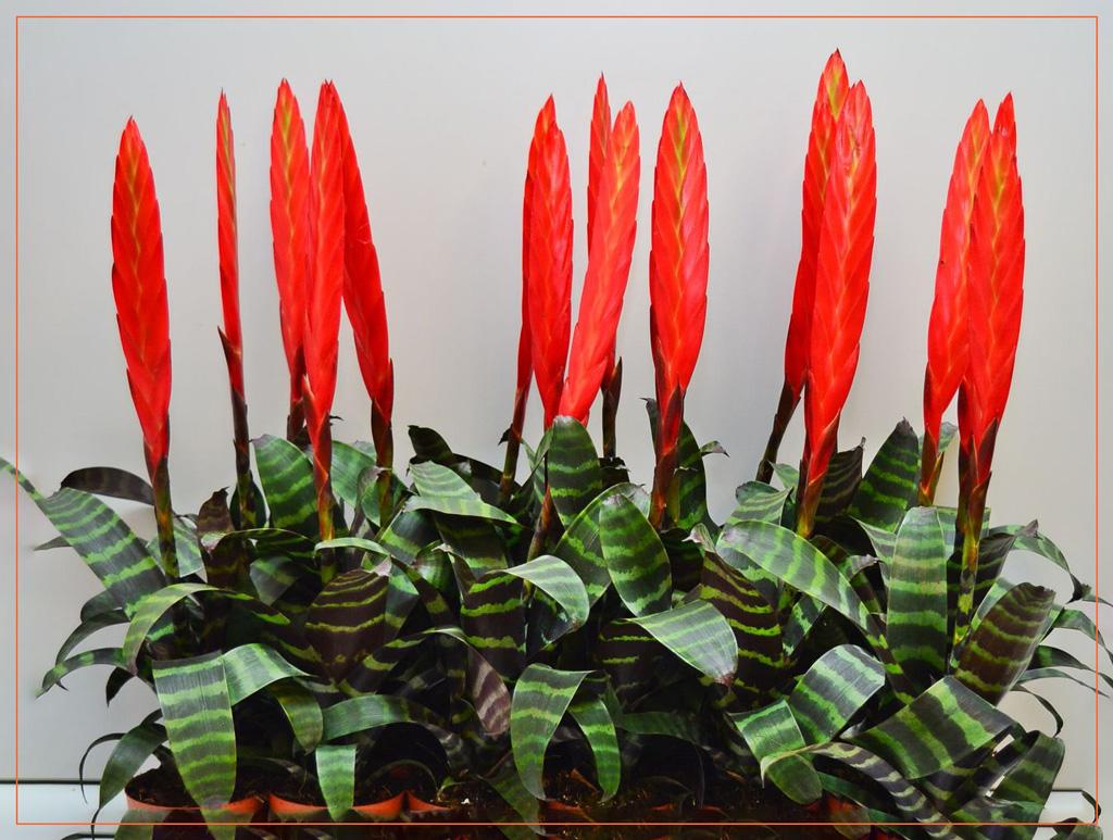 Теневыносливые растения Вриезия