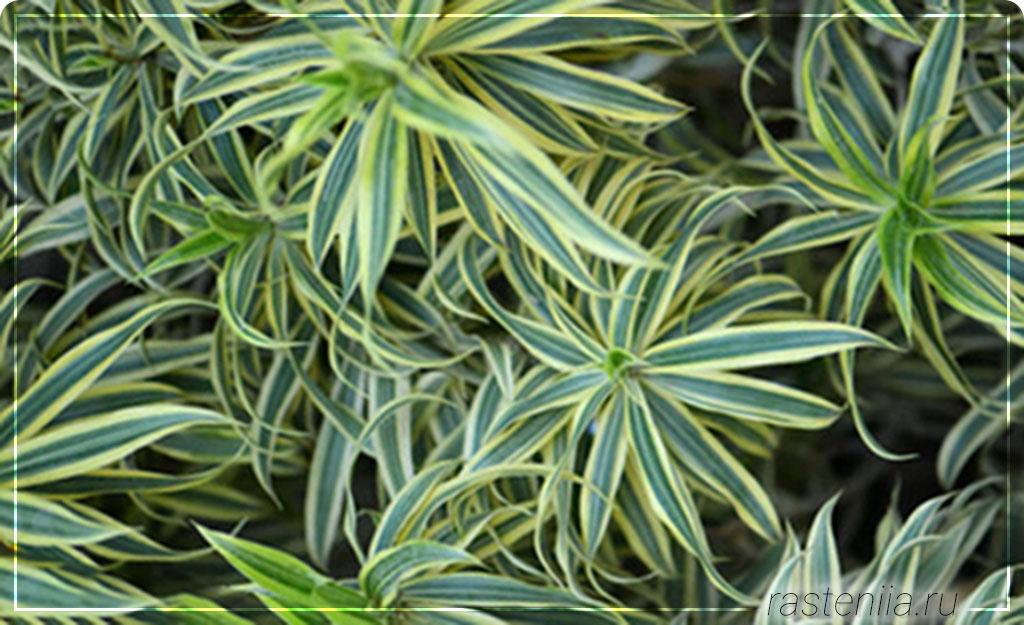 Для очищения воздуха — Хлорофитум