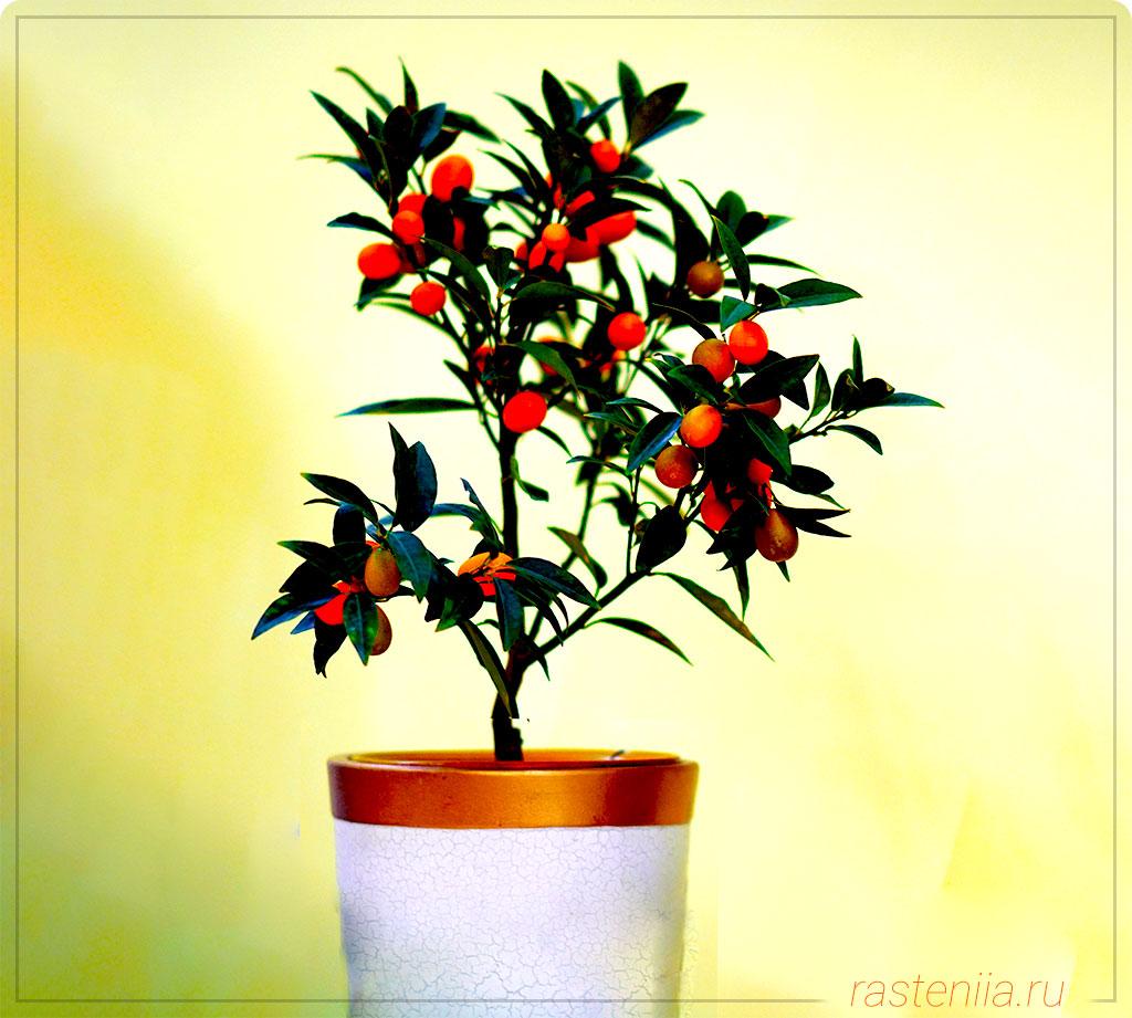 Домашнее апельсиновое дерево