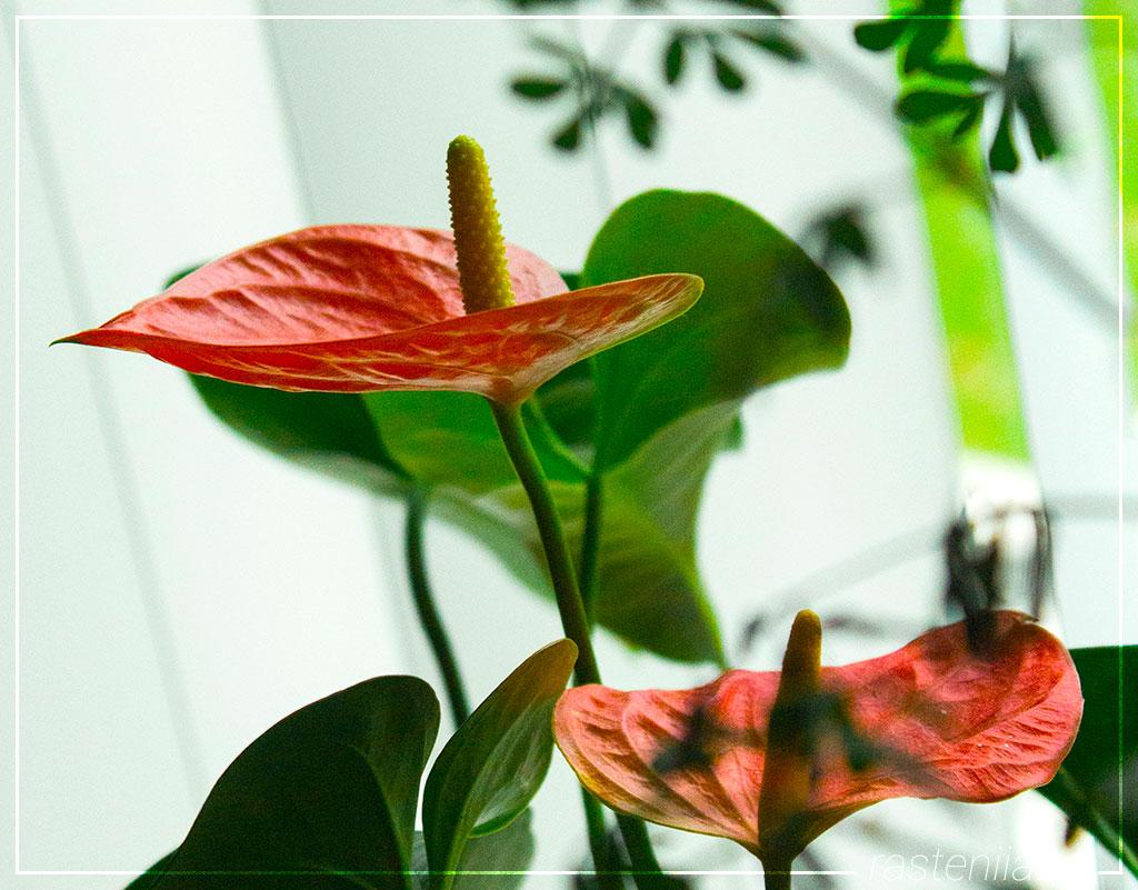 Домашние цветы Антуриум