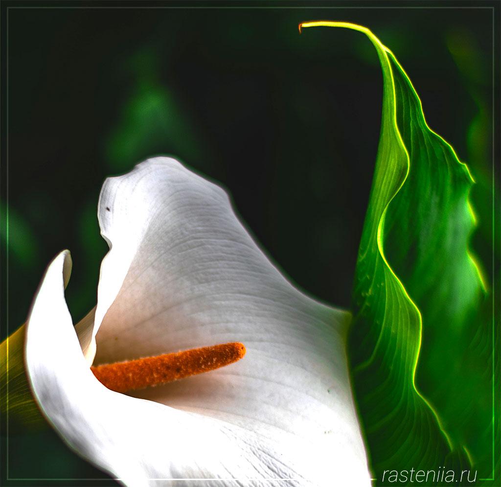 Домашний цветок антуриум
