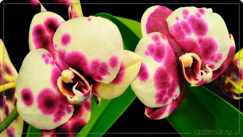 Фаленопсис редкие сорта