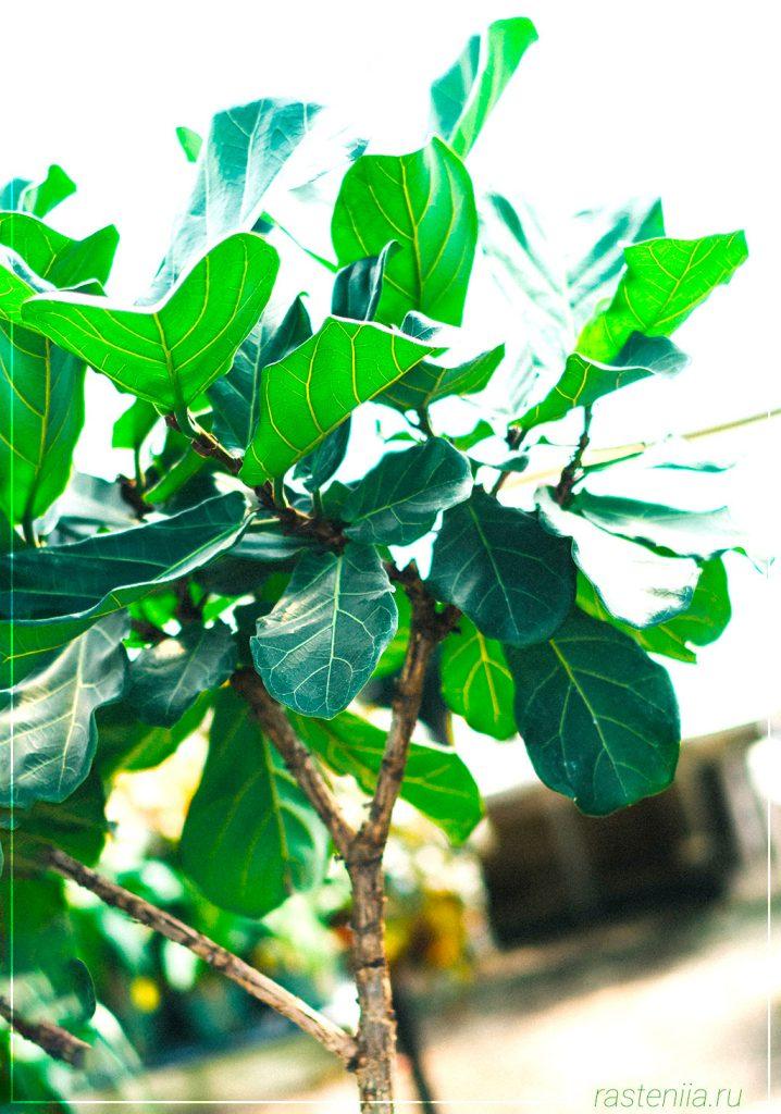 Фикус болезни листьев