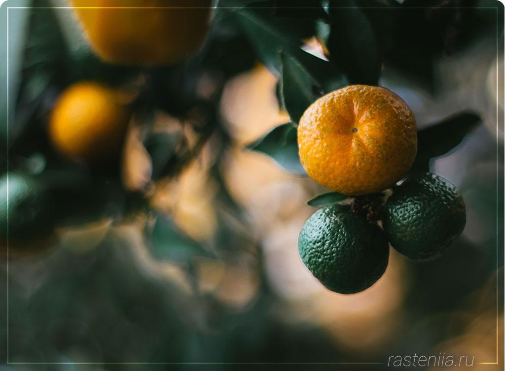 Как вырастить апельсиновое дерево дома