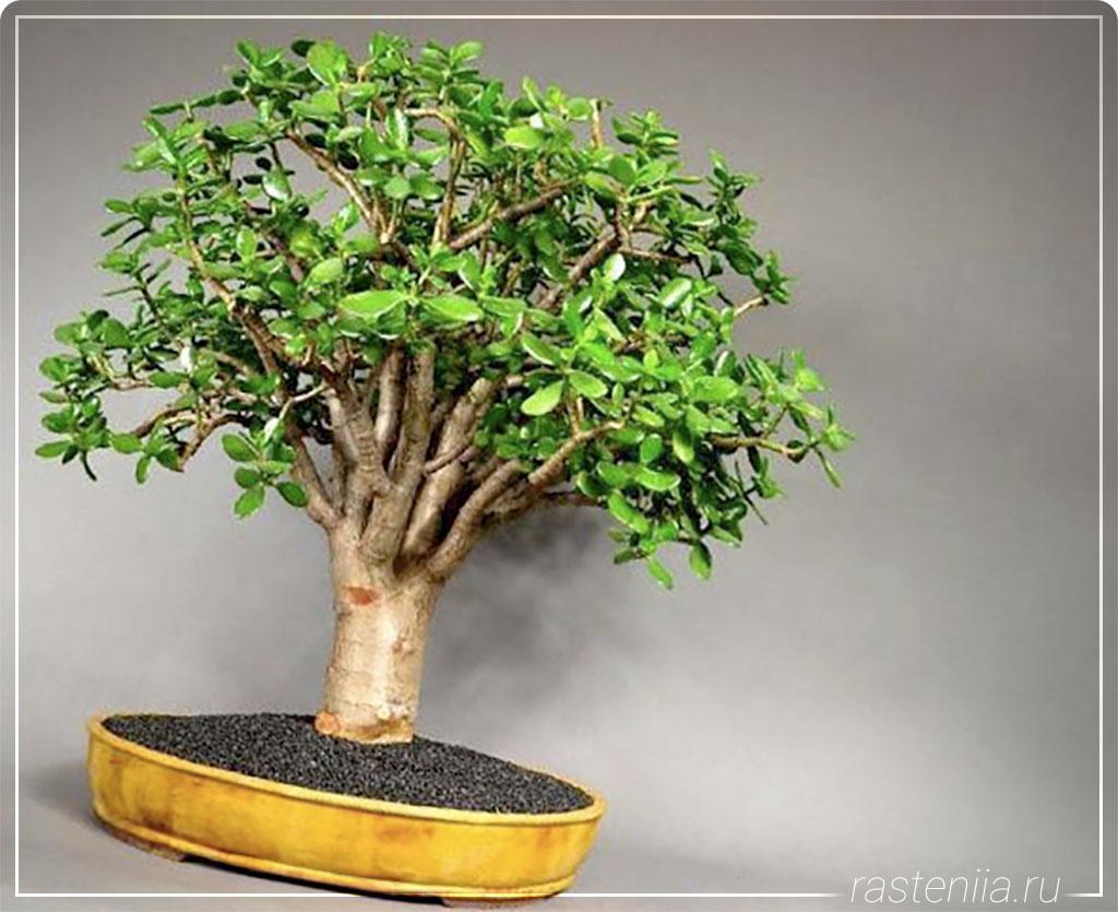 Какая земля нужна для денежного дерева
