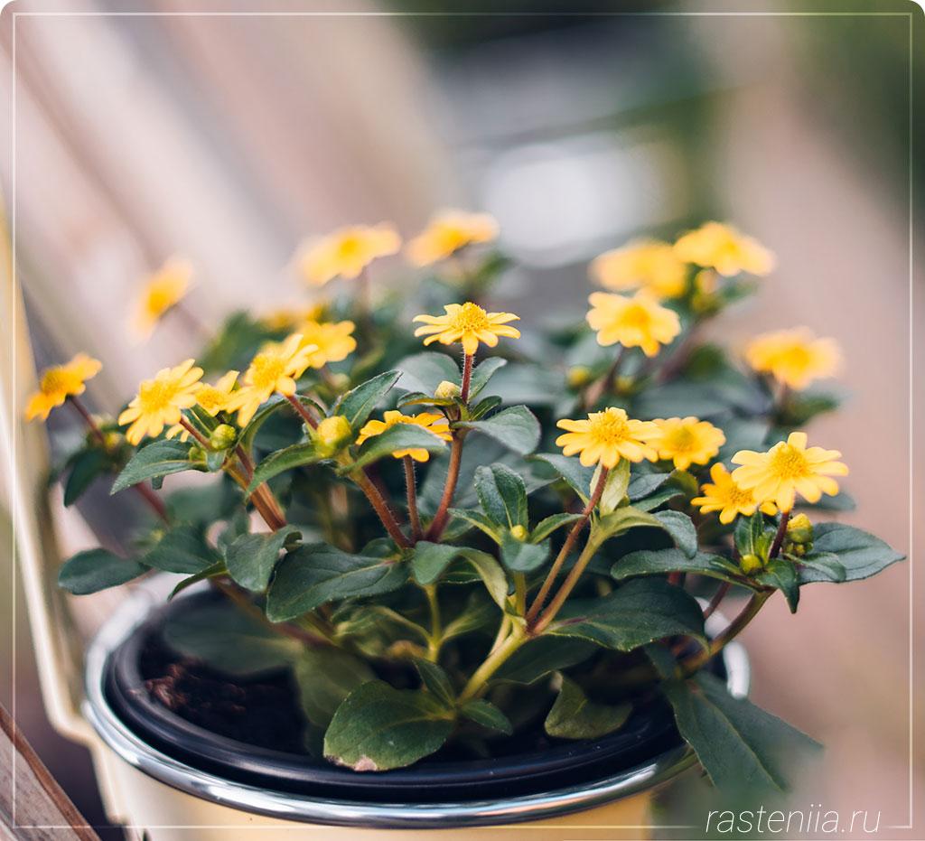 Подарочные цветы в горшках