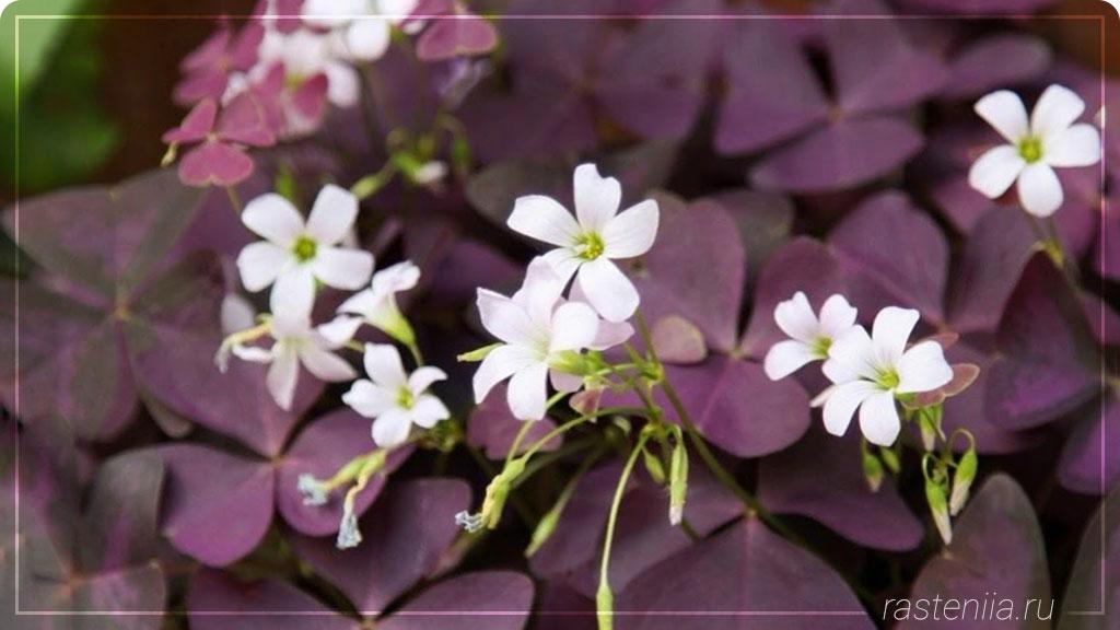 Самые редкие цветы Оксалис