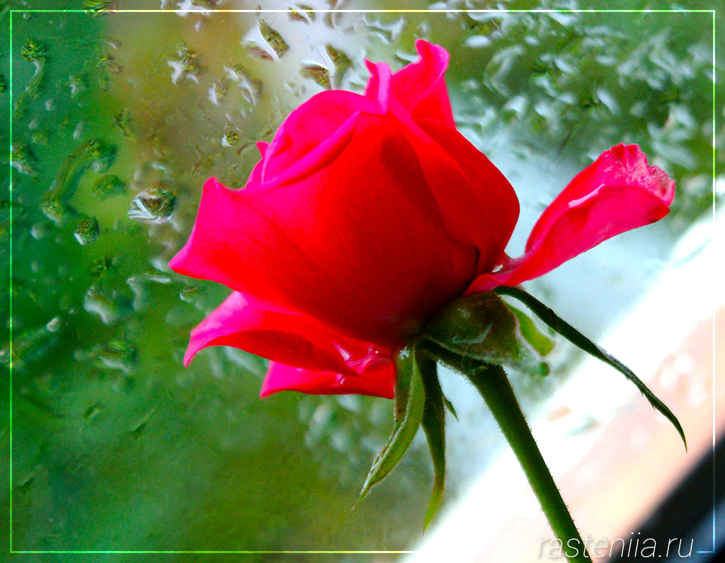 Удобрение для комнатных роз