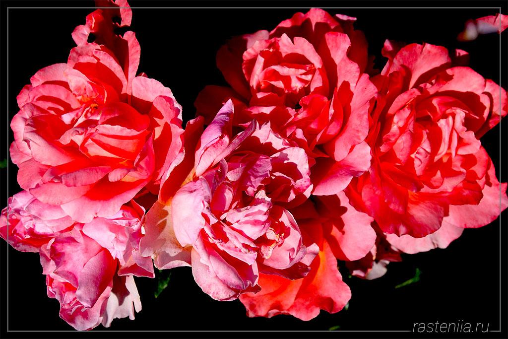 Удобрение для роз в домашних условиях