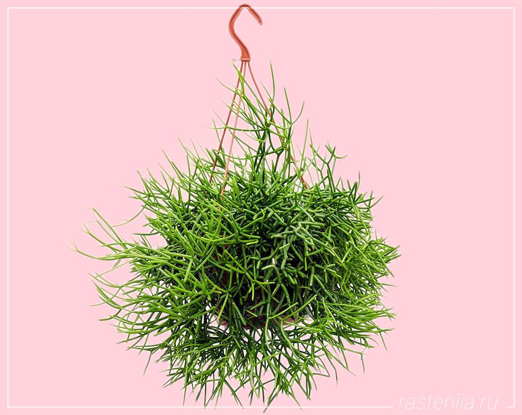 Подвесное растение — Рипсалис