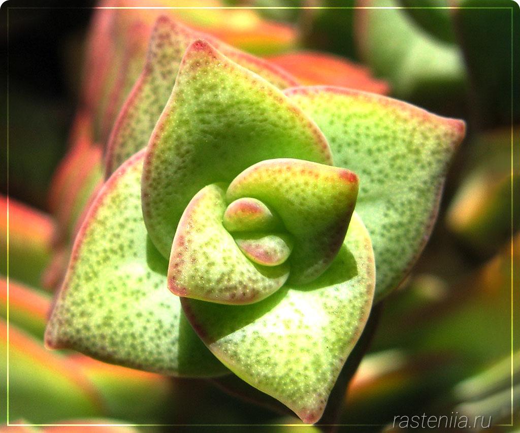 Цветок толстянка