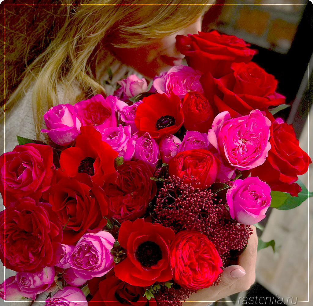 Уход за домашними розами в горшках