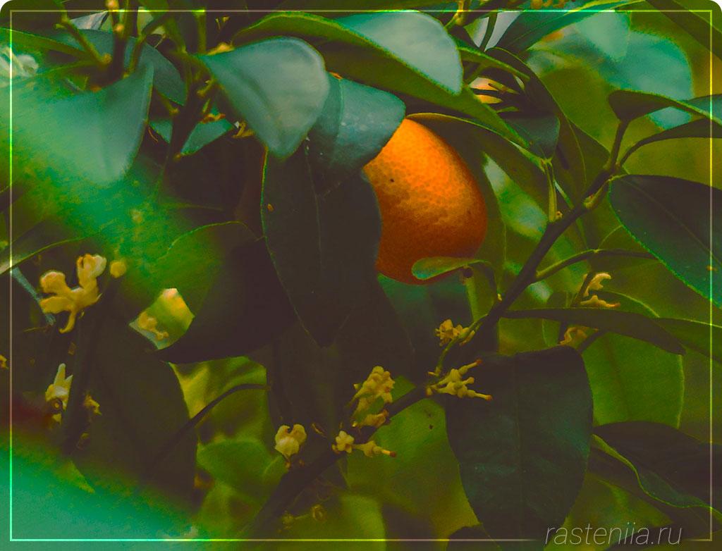 Уход за лимоном в комнатных условиях