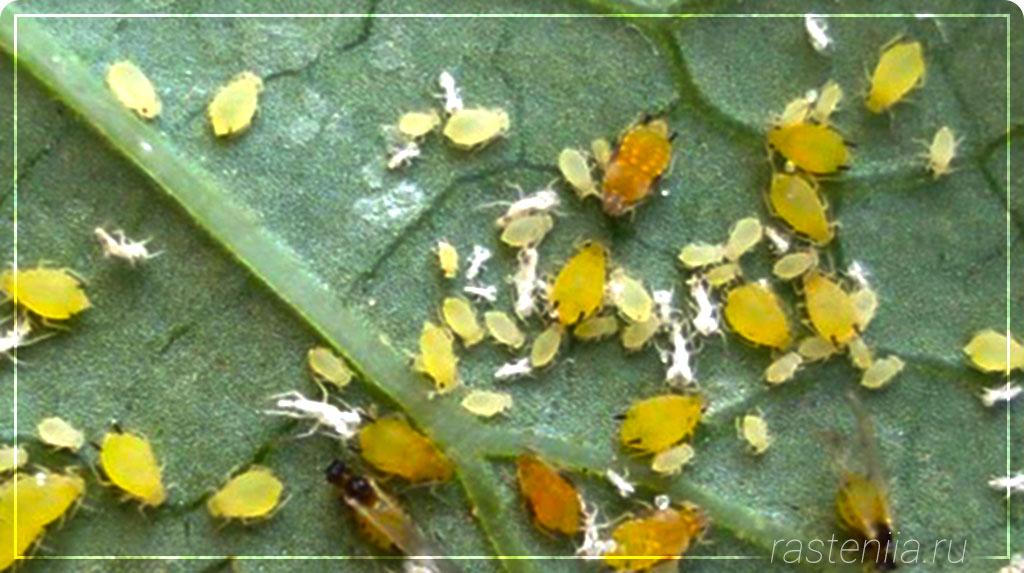 В земле комнатных растений завелись мошки